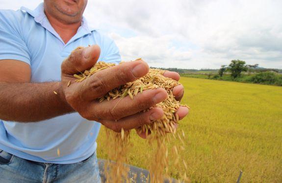 Agricultores de Itajaí iniciam a colheita do arroz