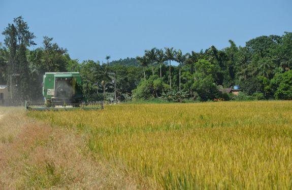 Camboriú inicia safra do arroz com expectativa de gerar R$ 4,5 milhões para famílias produtoras