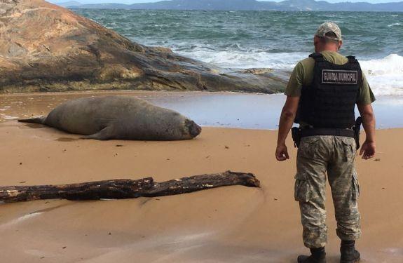 Leão-marinho aparece na Praia do Estaleiro
