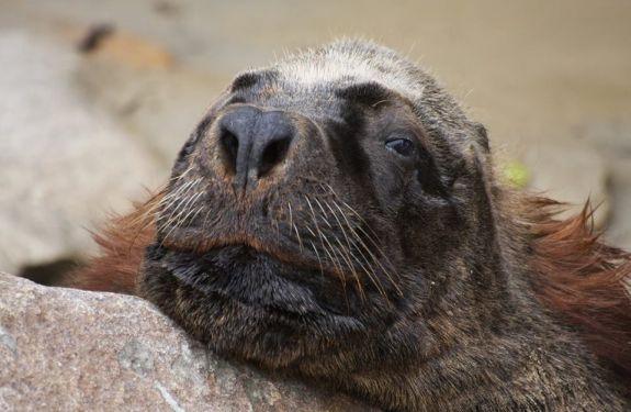 Leão-marinho segue em recuperação na Praia de Laranjeiras