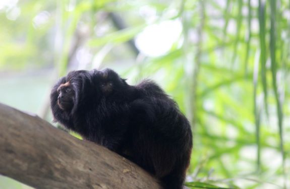 Nasce filhote de espécie ameaçada de extinção no Zoo Pomerode