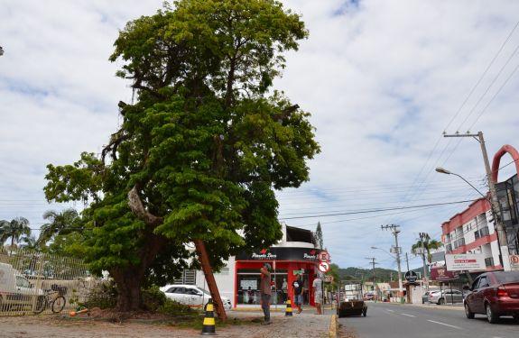 Pau-brasil é recuperado em Camboriú