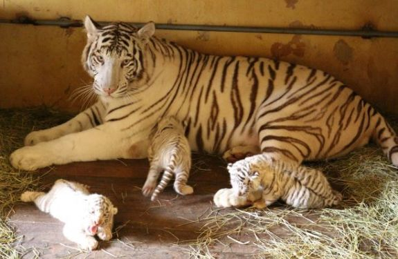 Primeira ninhada de tigre branco nascido no Brasil