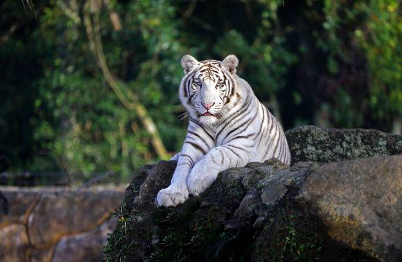 Tigres brancos chegam ao Zoo do Beto Carrero World